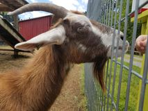 Goat at a feeding area Stock Image