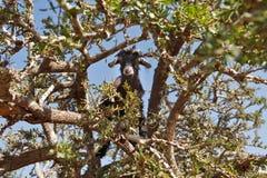 Goat feeding in argan tree Royalty Free Stock Image