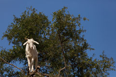 Goat feeding in argan tree. Marocco Royalty Free Stock Images