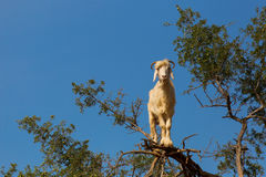 Goat feeding in argan tree. Marocco Stock Images