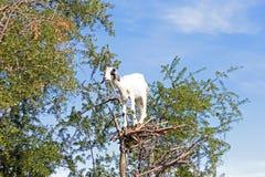 Goat feeding in argan tree Royalty Free Stock Images