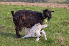 Goat feeding baby with milk in the meadow Royalty Free Stock Photo