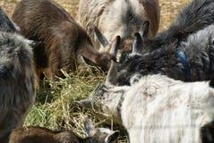 Goat Feeding Frenzy Royalty Free Stock Images