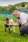 Goat feeding Royalty Free Stock Image