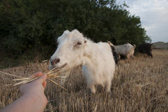 Goat feeding Stock Images