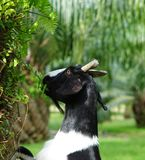 Goat. Female Goat eating fern on The palm oil Royalty Free Stock Photography