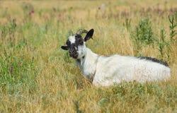 Goat female in field Stock Photo
