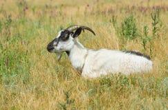 Goat female having rest Stock Photography