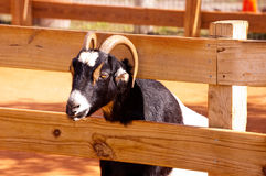Goat and fence Stock Photos