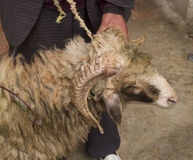 Goat at fez, morocco Royalty Free Stock Photo