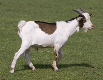 Goat in field Stock Photo