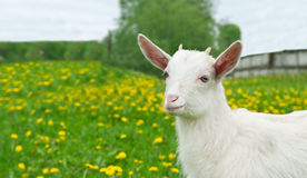 Goat on the field Stock Photos