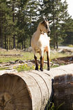 Goat on the field Stock Photography