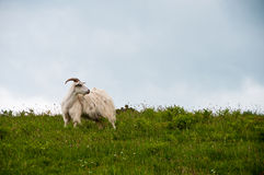 Goat in field Royalty Free Stock Photography