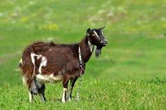 Goat field. Animals ranch summer goat milk Royalty Free Stock Photo