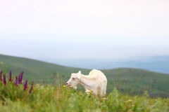Goat on field. Color goat on the field near the sea Stock Image