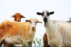 Goat on field. Color goat on the field near the sea Stock Photos