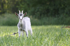 Goat in the field royalty free stock image