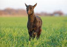 Goat on field stock images