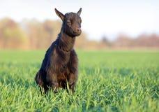 Goat on field stock photos
