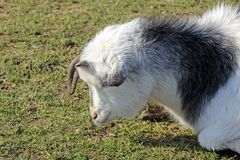 A goat Stock Photo