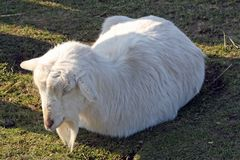 A goat Stock Photos