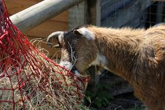 A goat Royalty Free Stock Image