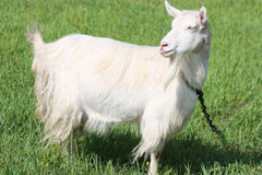 Goat on a field Stock Images