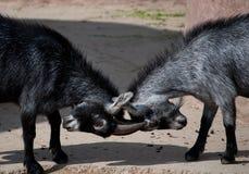 Goat fight Stock Photo