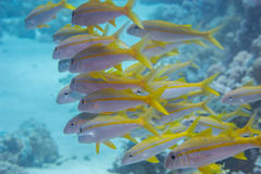 Goat fish Stock Photos