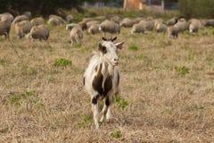 Goat flock Royalty Free Stock Photos