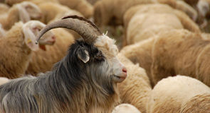 Goat in the flock Stock Images