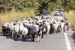 Goat flock on the way to the stable Royalty Free Stock Photo