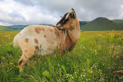 Goat on flowering meadow Royalty Free Stock Photography