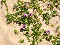 Goat-foot Vine, Beach Morning Glory, Seaside Morning Glory Royalty Free Stock Images