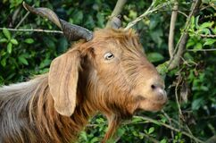 Goat In The Forest Of Nadaun H.P India