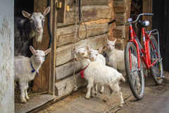 The goat and four kid royalty free stock photography