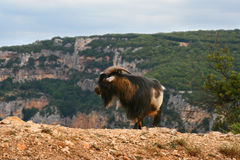 The goat in France mountain. France goat on mountain near Ardesh Royalty Free Stock Photos