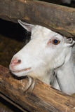 Goat for freedom. Stock Photos