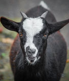 Goat front closeup Royalty Free Stock Image