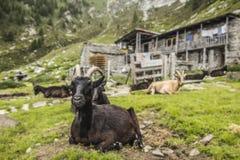 Goat Stock Photo