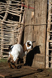 Goat in front of a Gate Royalty Free Stock Photography