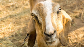 Goat front head view with brown straw behind. Farm Goat head view on sun light Royalty Free Stock Image