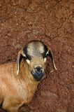 Goat in front of mud wall Stock Photo