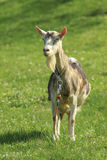 Goat in Front Royalty Free Stock Photography