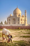 Goat in front of Taj Mahal Royalty Free Stock Photo