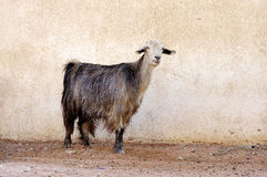 Goat in front the wall Royalty Free Stock Photo