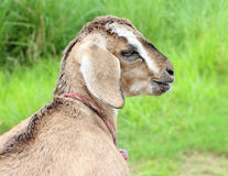 Goat. Funny close up portrait of a goat Royalty Free Stock Photos
