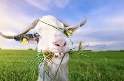 Goat with funny teeth and grass in mouth. Funny looking white billy goat with hilarious teeth, looking at the camera, with grass in its mouth, in a green field stock photography