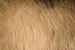 Goat fur. Brown alpine goat fur texture close up stock image